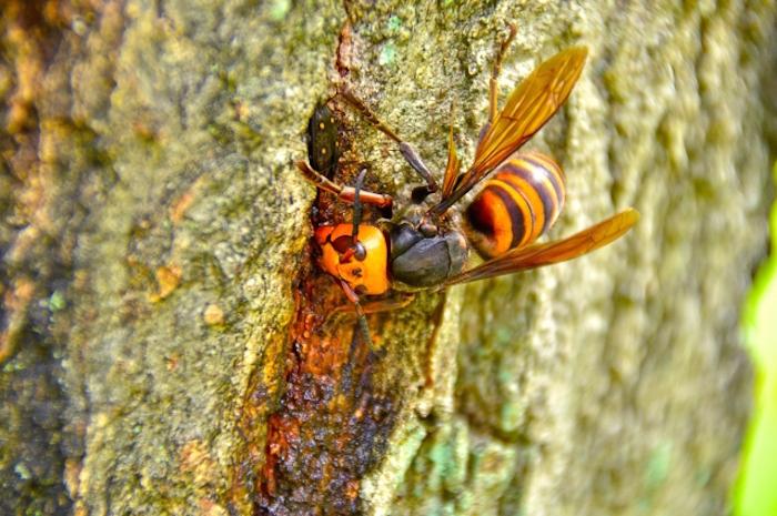 樹液を吸うスズメバチ