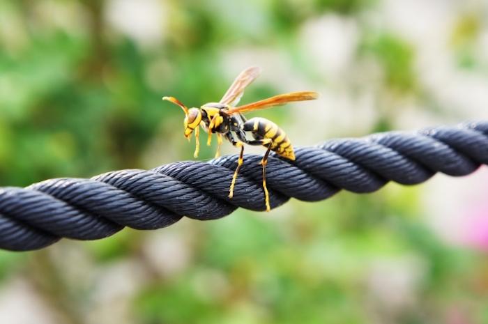 ロープに停まるアシナガバチ