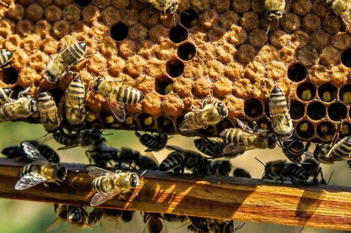蜂の巣に集まるミツバチ