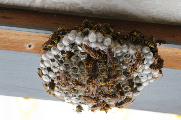 高所にある蜂の巣